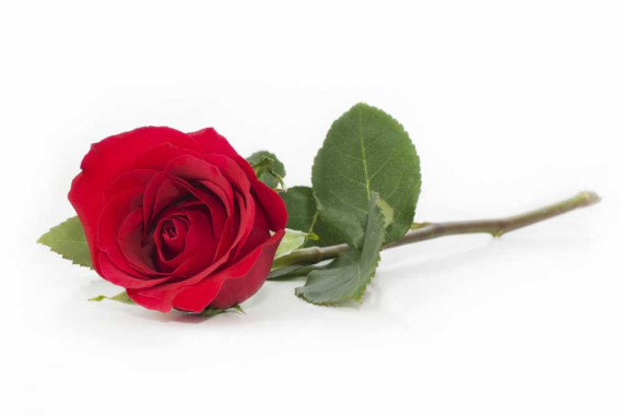 einzelne-rose