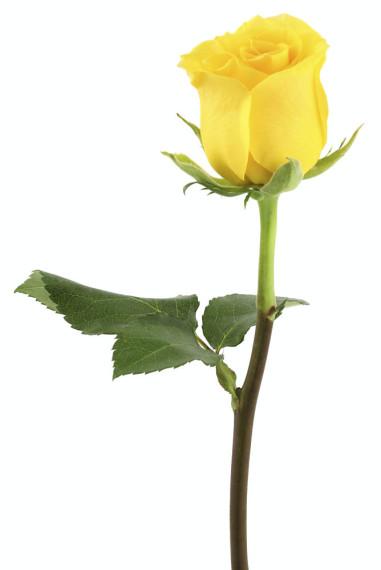 Außergewöhnlich Farbe der Rosen und ihre Bedeutung | Muttertag Blumen 2019 &EV_89
