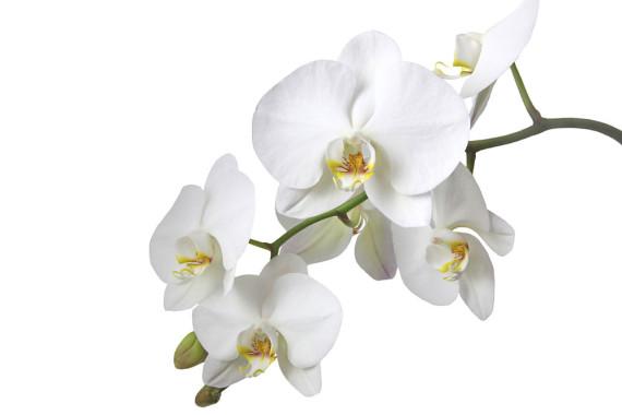 orchideen-in-weiss