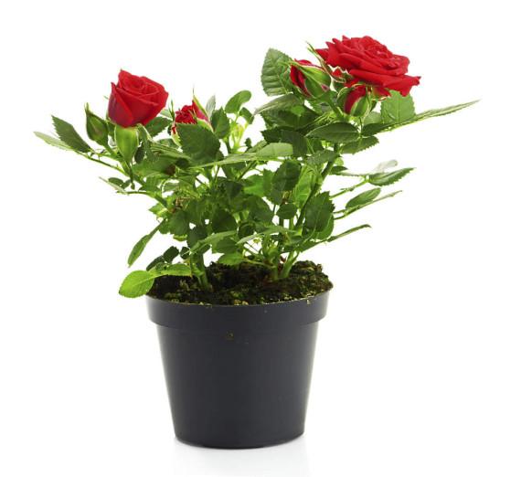 rose-im-topf